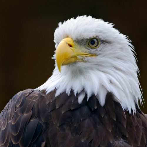 How The Bald Eagle Become Americas National Bird Provident